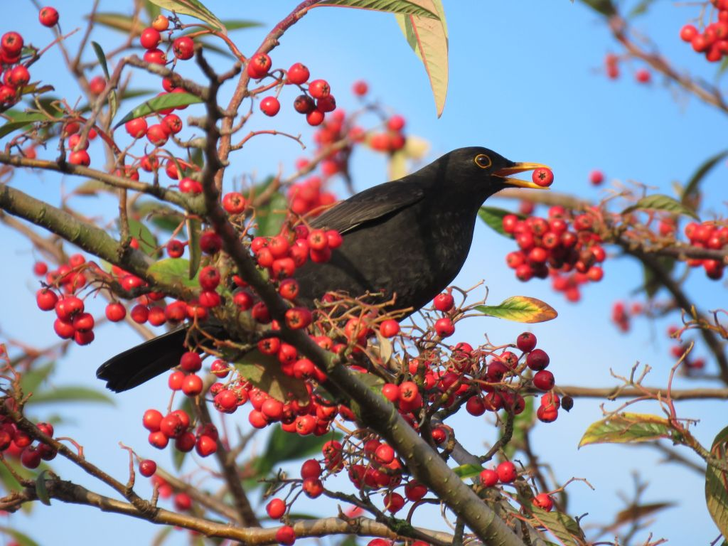 Bird eating berries.