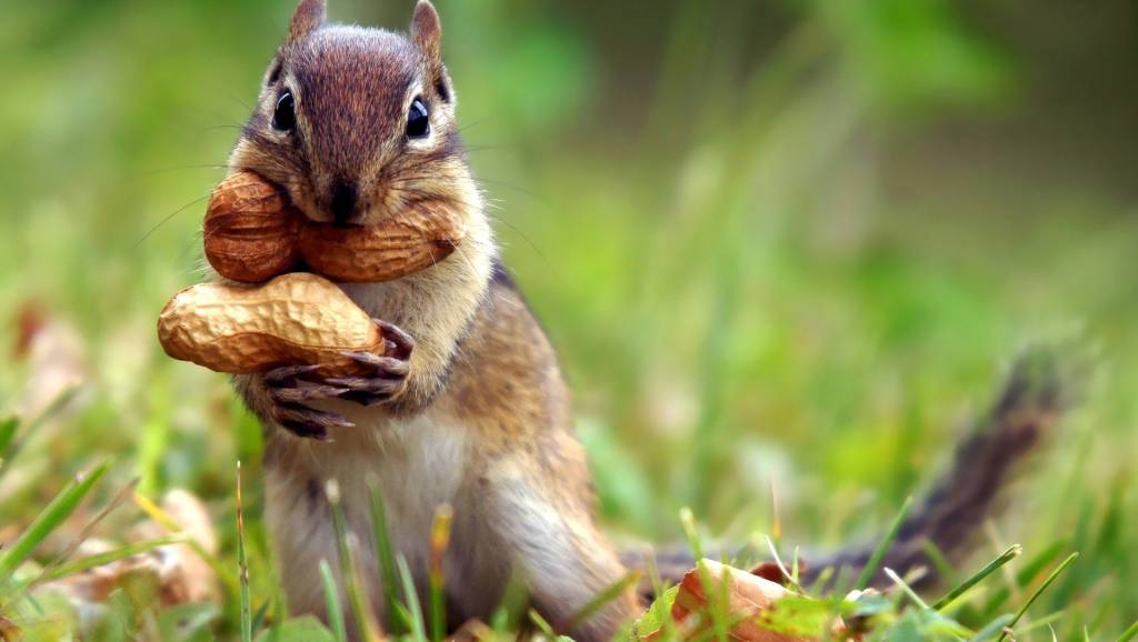 Chipmunk carrying peanuts.