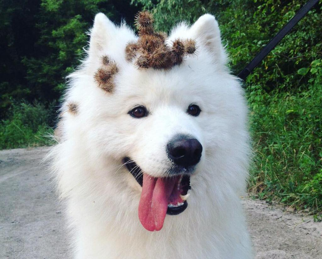 White dog with burdock on its head.