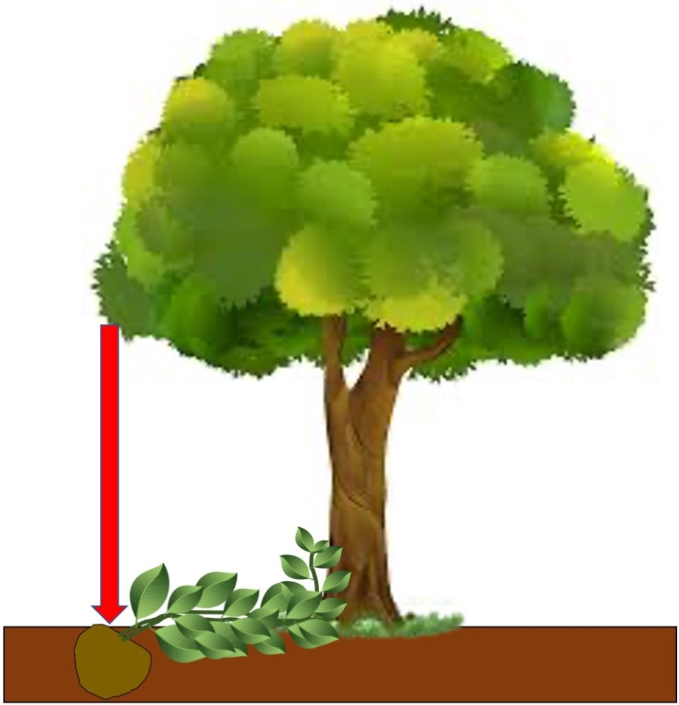 Illustration of how to plant a climber at the drip line of a tree