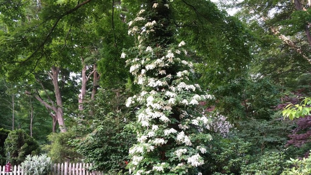 Climbing hydrangea with white flowers climbing up a tree.