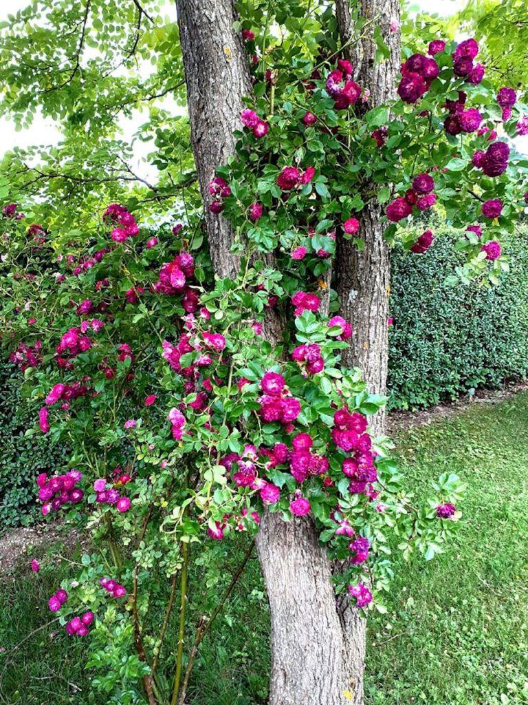 Rosa 'Blue Magenta' climbing a tree.