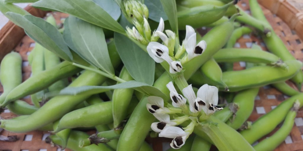 Broad beans and flowers of broad bean.