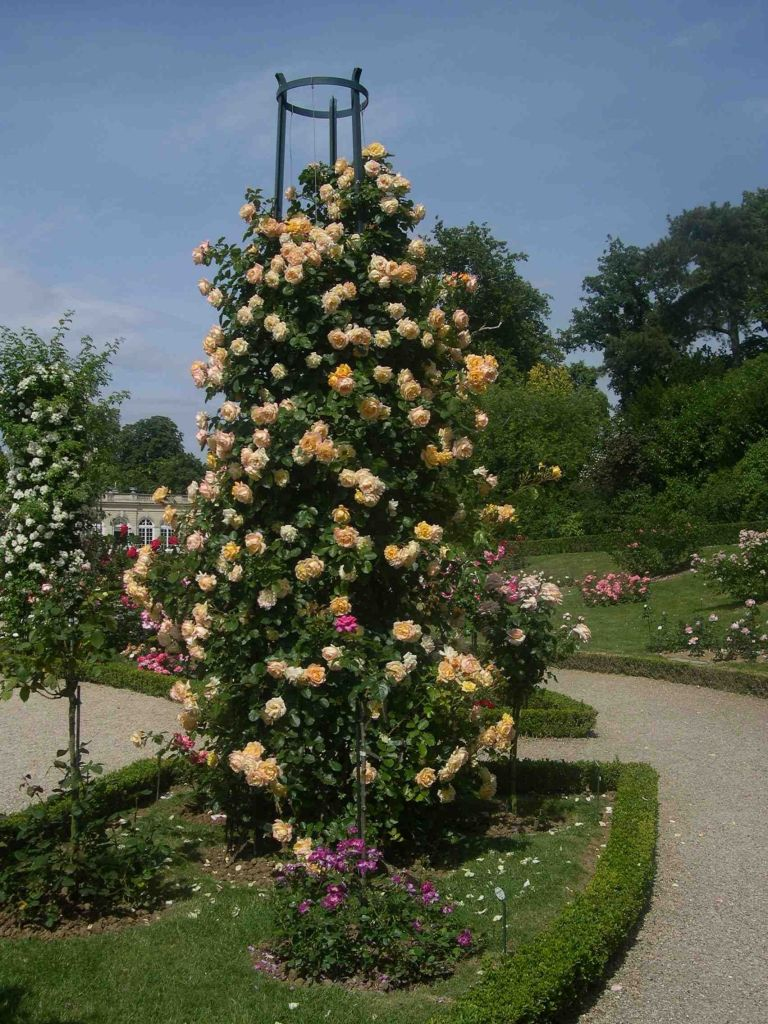 Climbing rose with pale orange flowers