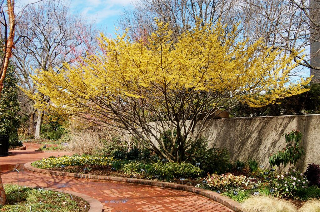 A large shrub of American witch-hazel with yellow flowers near a retaining wall and brick path.