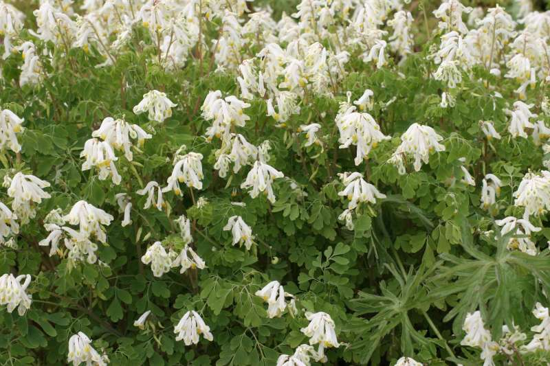 Abundant whitish flowers over deeply cut leaves of white corydalis