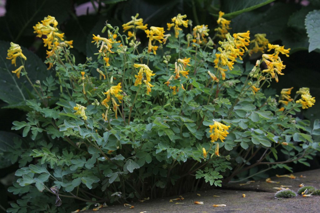 yellow corydalis with deeply cut blue-green leaves and yellow flowers.