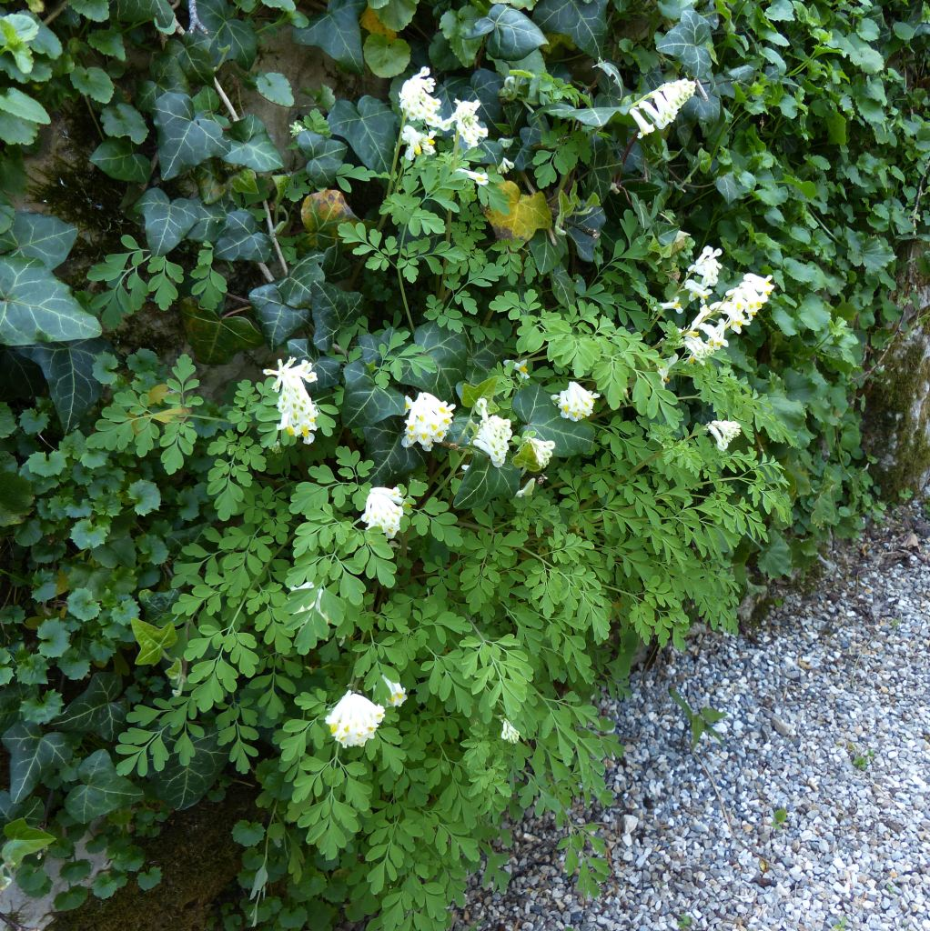 Naturalized white corydalis mixing in with other plants, white flowers.