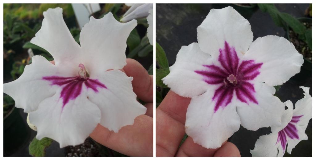 Typical streptocarpus flower on left, mutated streptocarpus flower with radial symmetry on right.