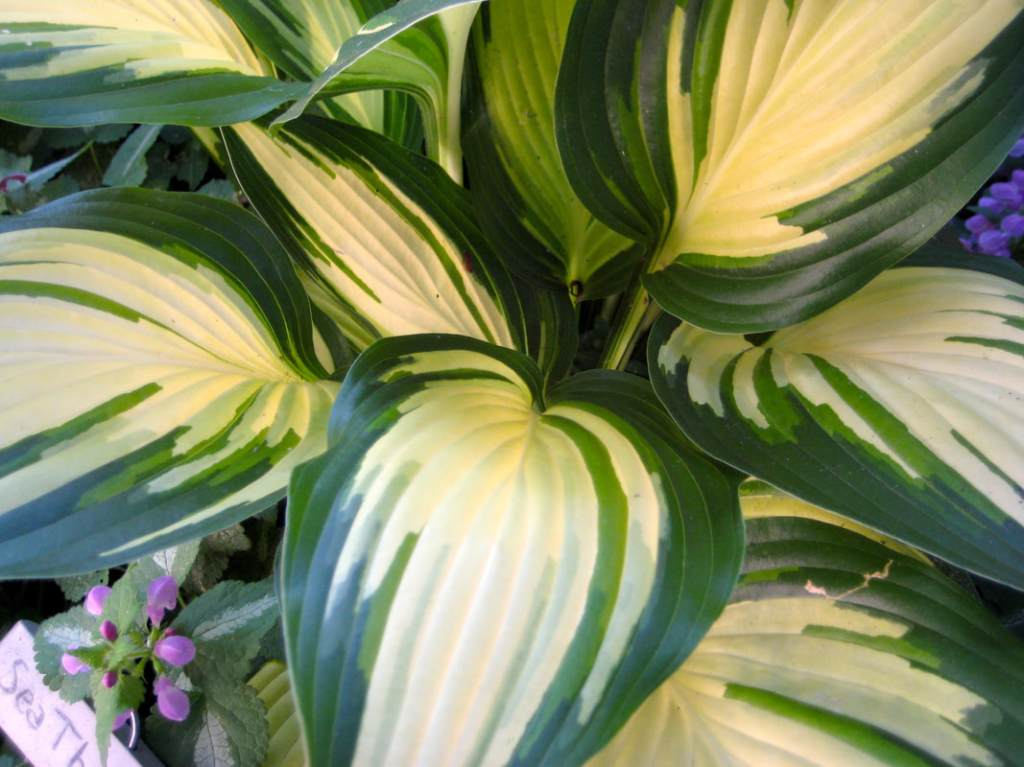 Hosta with variegated green and cream leaves.