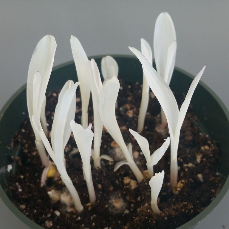 Albino grass seedlings with white leaves.