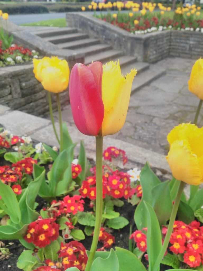 Tulip that is red on one side and yellow on the other.