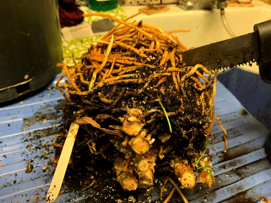 Root ball of aglaonema removed from pot, bouton is being sawed off.