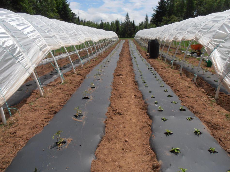Plantation en paillis de plastique noir et tunnel.