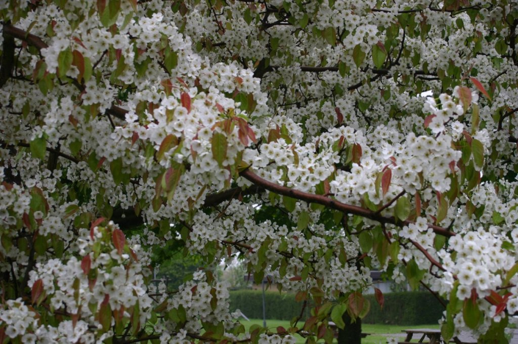 Ussurian pear tree branches covered with flowers.