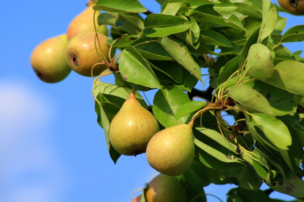 Hybrid pear 'Ure' with ripe yellow fruits