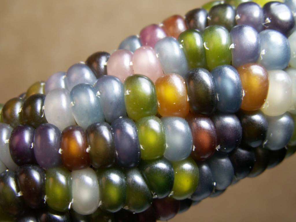 Corn with multicolored kernels.