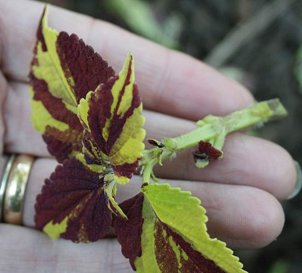 Coleus cutting with lower leaves removed.