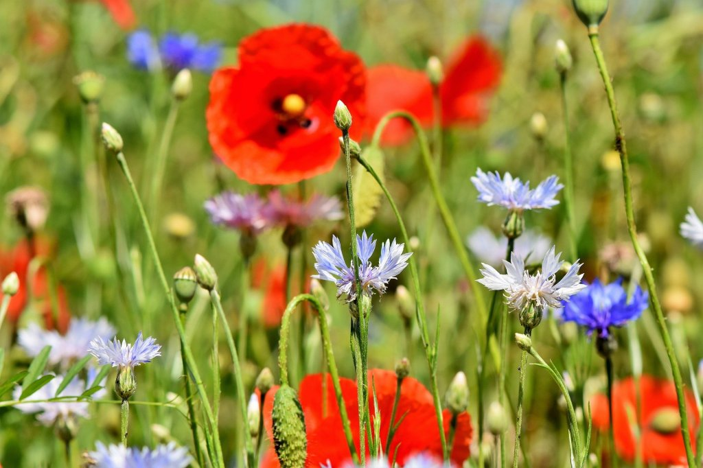 Different annual wildflowers in a field.