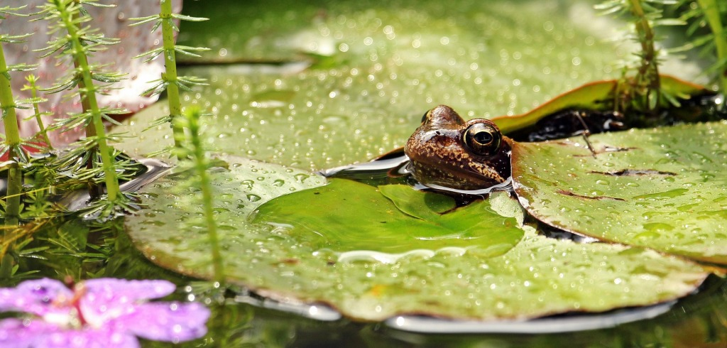 Frog with its head out of the water, surrounded by waterlily leaves.