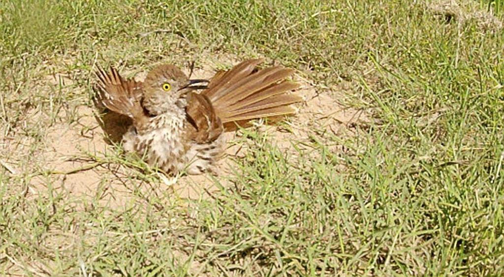 Brown thrasher taking a dust bath