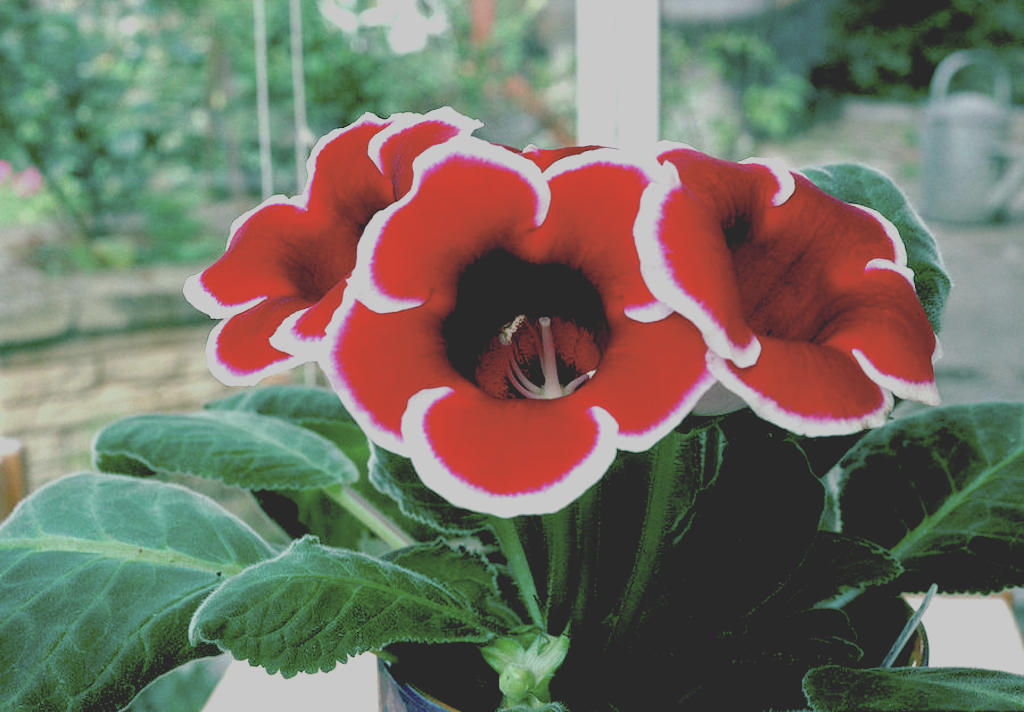Florist's gloxinia 'Kaiser Friedrich' with red and white flowers.