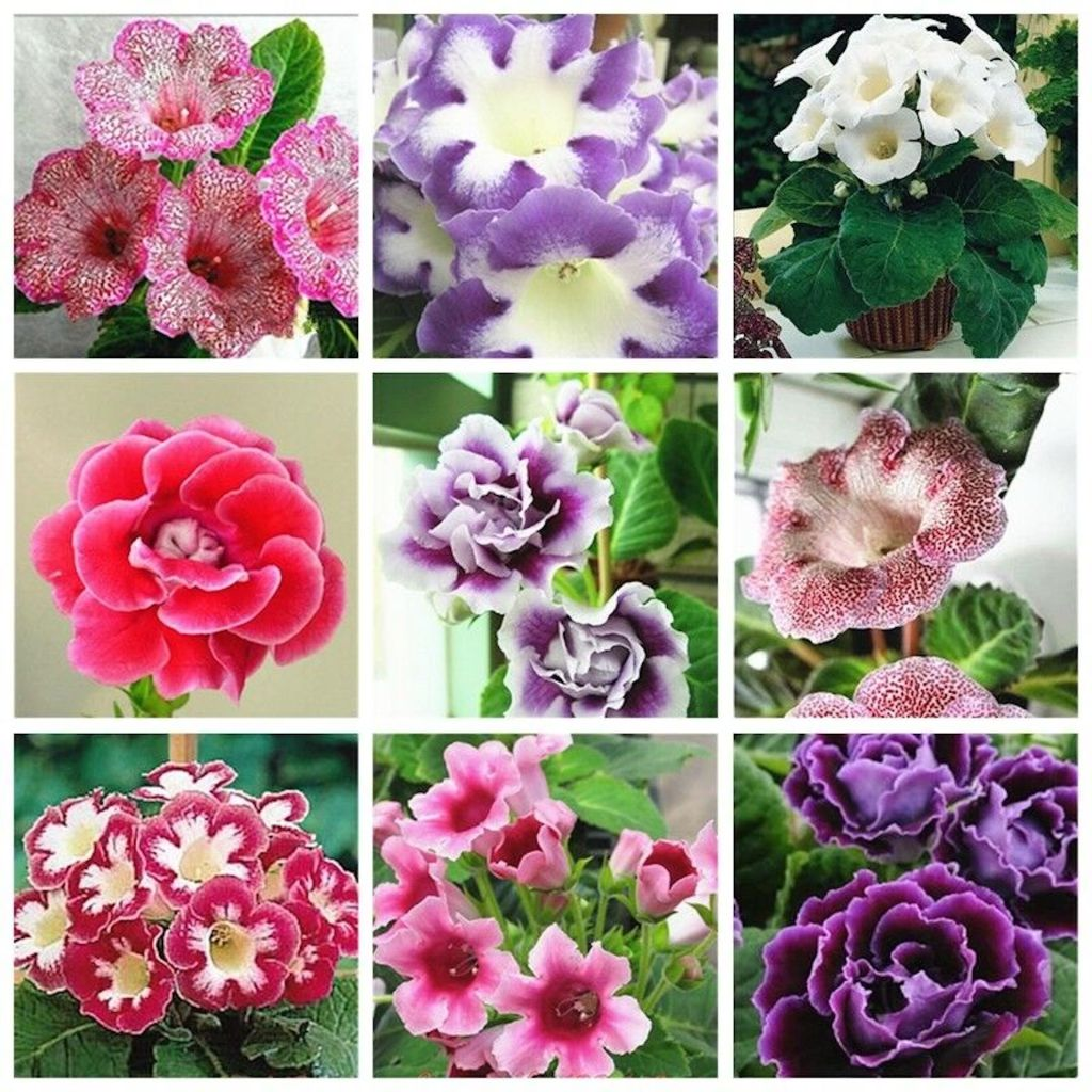 Wide range of Florist's gloxinia flowers in different colors.