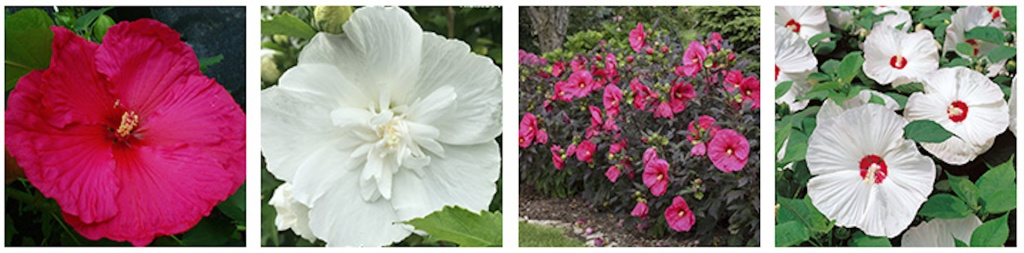 4 different hardy hibiscus varieties