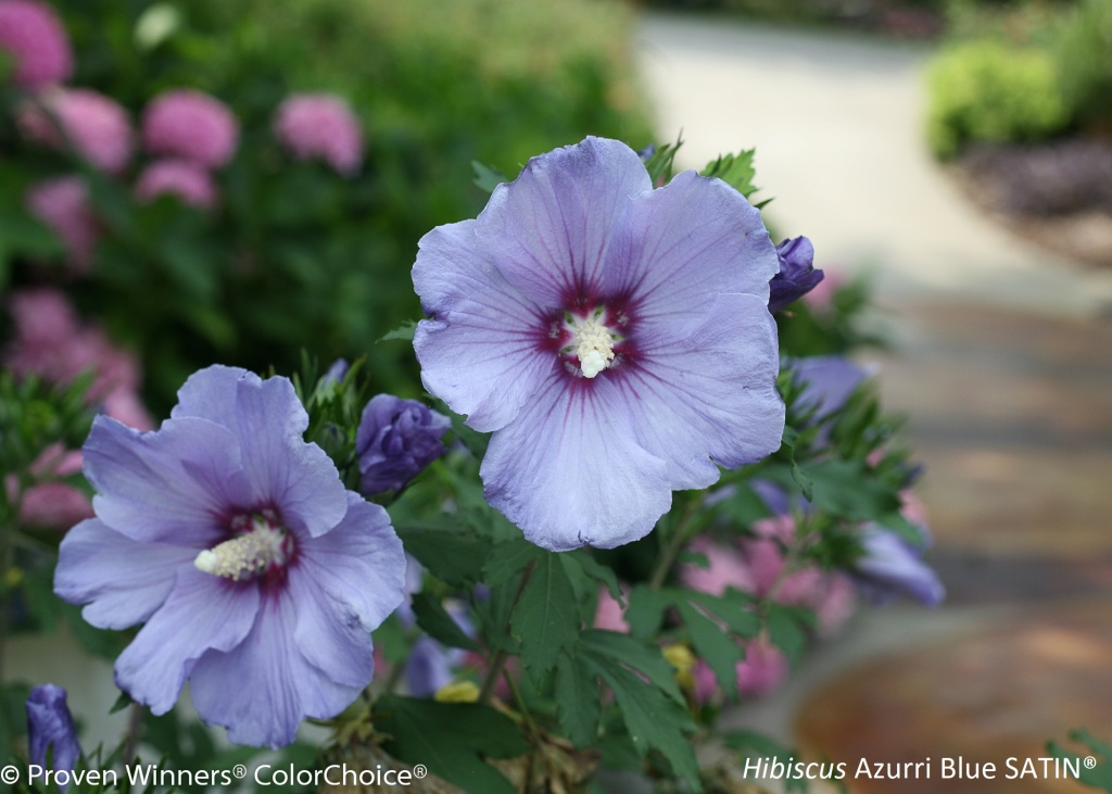 Rose of Sharon Azurri Blue Satin, with blue flowers.