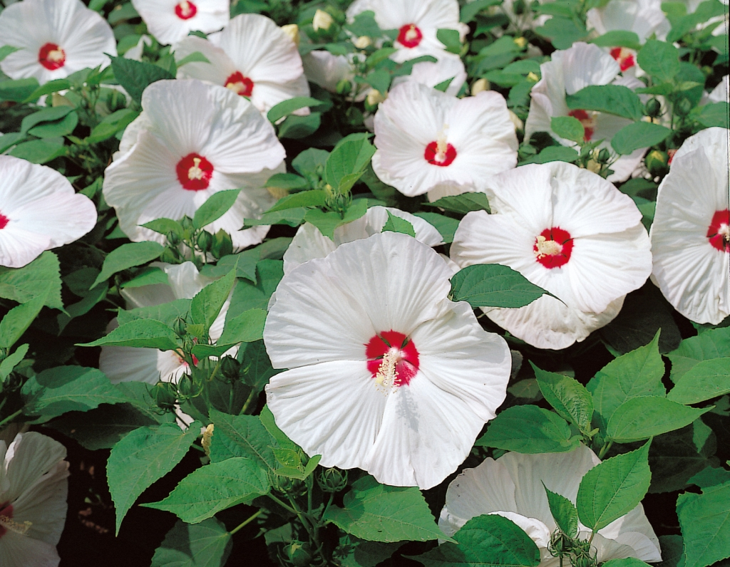 Hardy hibiscus 'Disco Belle White': white flower, red eye.