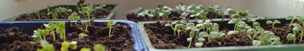 Sprouting seeds in trays.