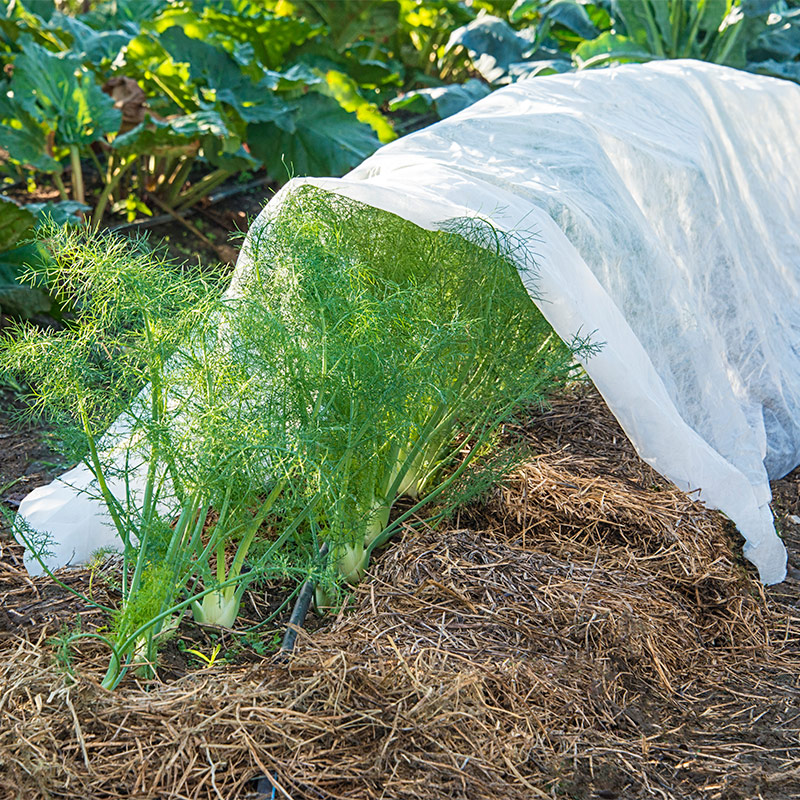 Floating row cover placed over fennel.