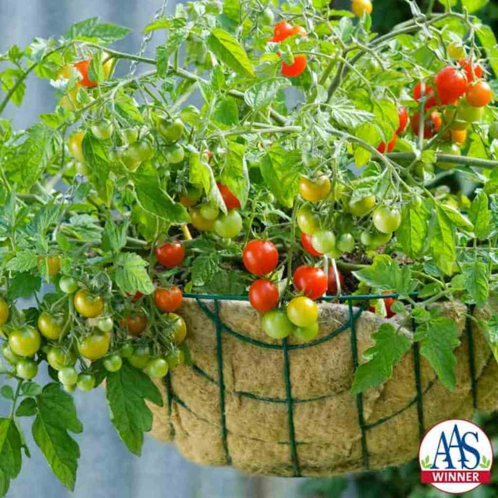 Cherry tomato in a hanging basket.