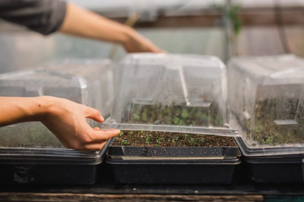 Seedlings covered with a transparent dome