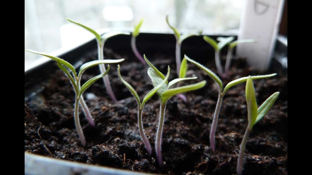 Young tomato seedlings showing cotyledons only.