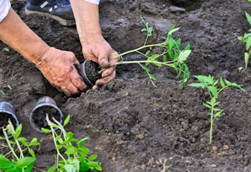 Transplanting tomatoes into the garden.