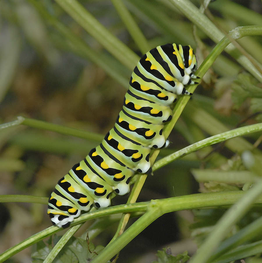 Parsley worm, a colourful caterpillar.