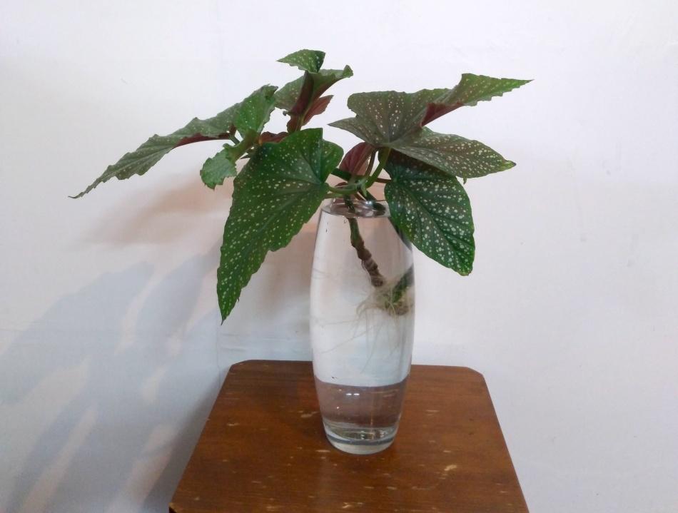 Begonia cutting rooting in water