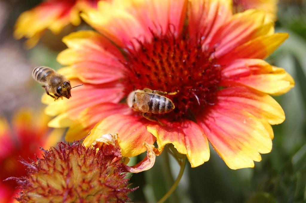Bees visiting a gaillardia flower.