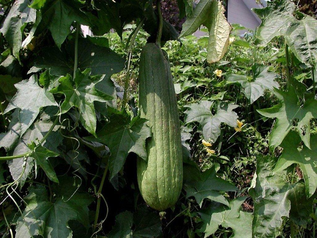 Luffa gourd on plant.