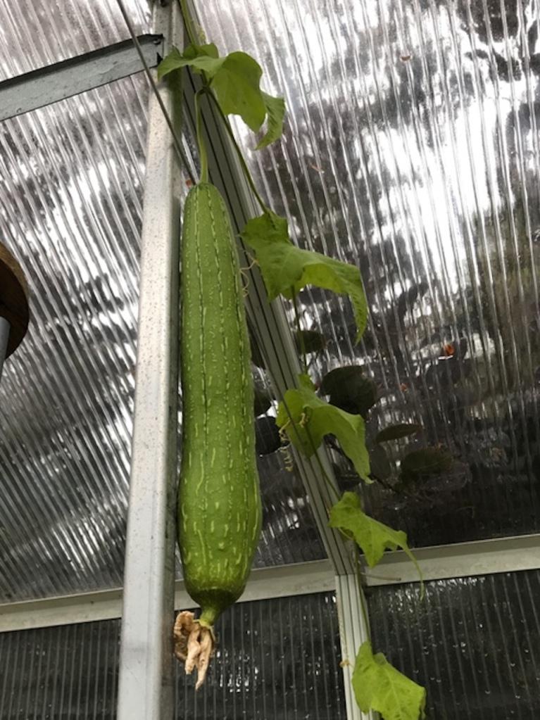 Luffa gourd in greenhouse.