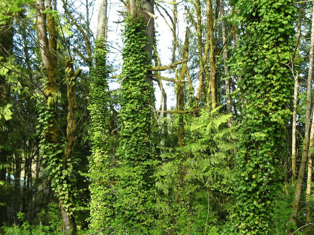 Ivy invading a forest in Washington state.