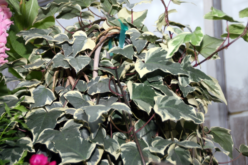 Algerian ivy 'Gloire de Marengo' with large variegated leaves.