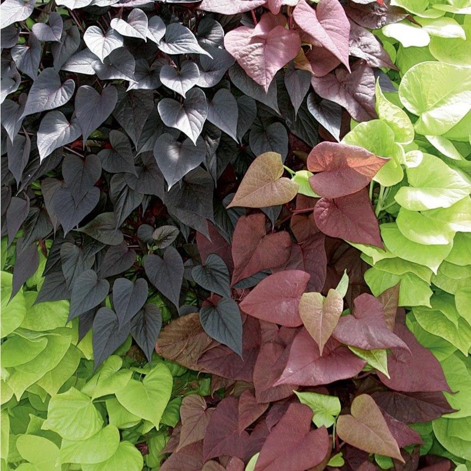 Variété de patates douces ornementales au feuilles de différentes couleurs