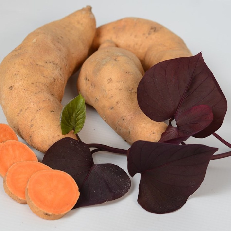 Patate douce Kaukura montrant des feuilles violettes en forme de cœur et un tubercule à peau et à chair orange.