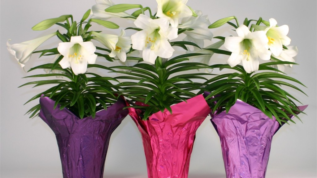 Easter lilies in pots