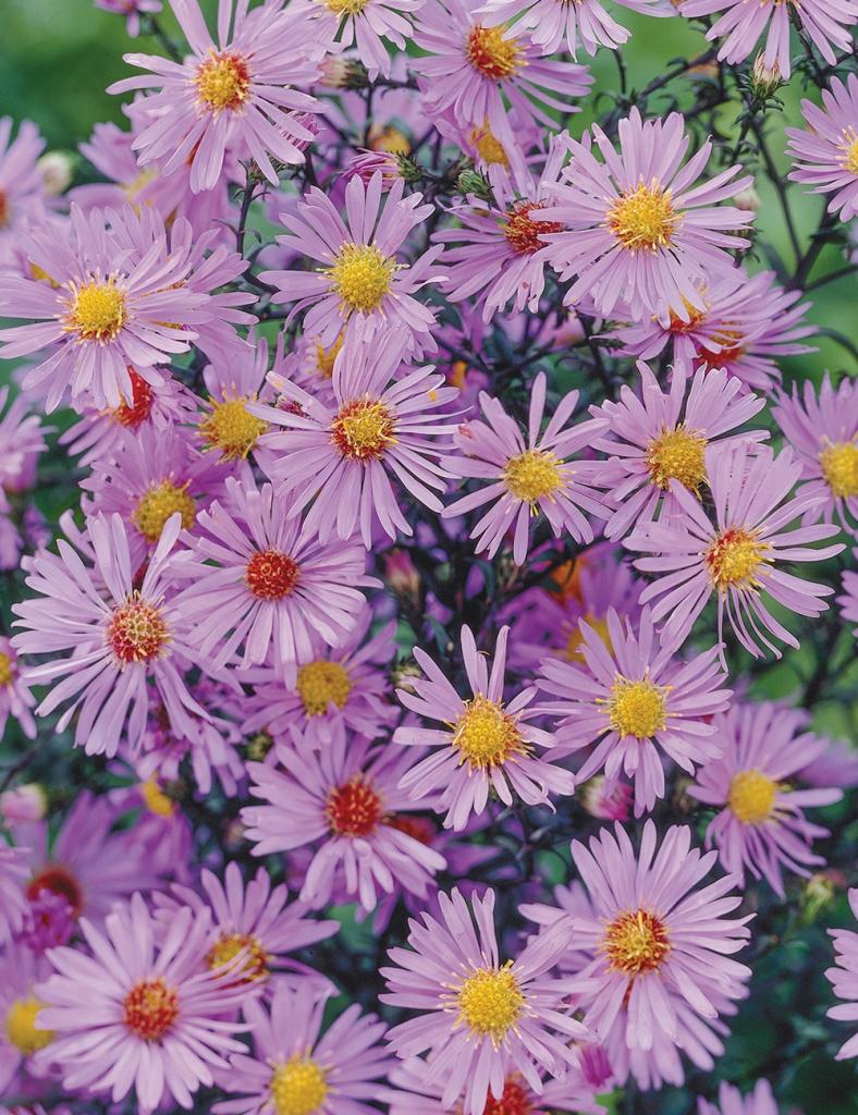 Pale purple aster flowers.