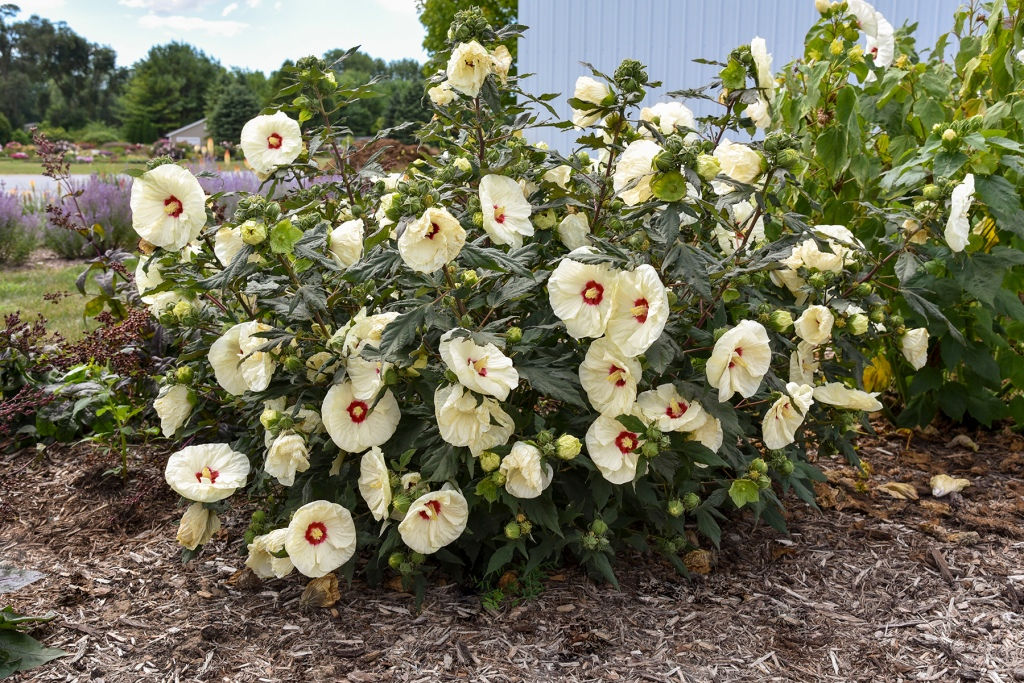 Hardy hibiscus Summerific@ 'French Vanilla' with pale yellow flowers and red eye.