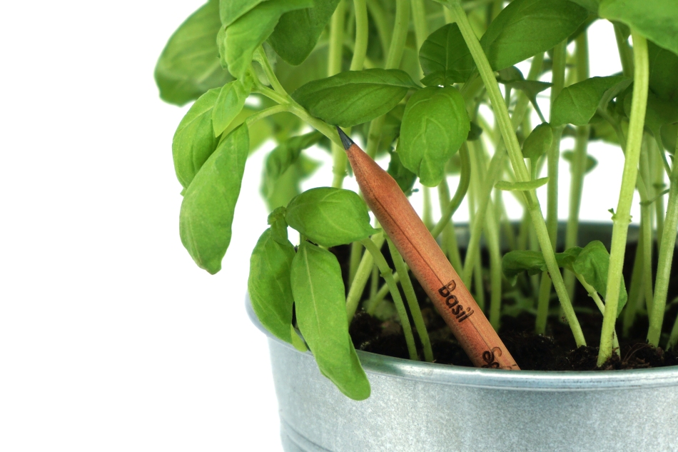 Pencil inserted into pot with basil plants sprouting.