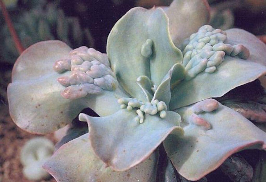 Echeveria gibbiflora carunculata
